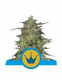 Med Royal Highness (3)