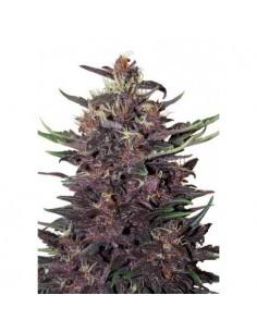 Auto Purple Kush (3)