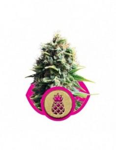 Fem Pineapple Kush (3)