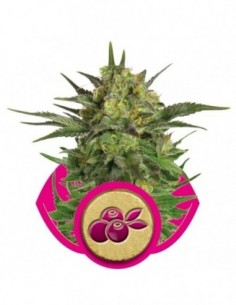 Fem Haze Berry (1)