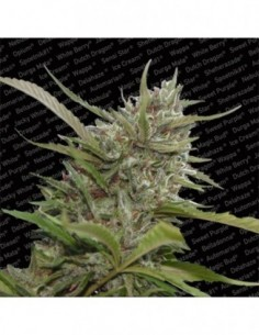 Auto Whiteberry (3)