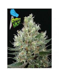 Riper haze fem Ripper seeds...