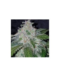 Fast Buds Tangie Matic Auto...