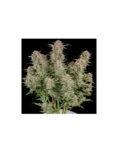 Fast Buds Bruce Banner Auto...